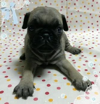 パグの子犬(ID:1267811016)の1枚目の写真/更新日:2017-08-07