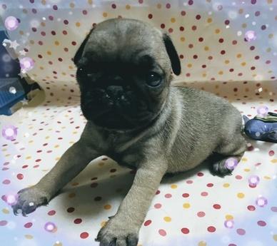 パグの子犬(ID:1267811017)の1枚目の写真/更新日:2017-07-17