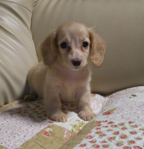 ミニチュアダックスフンド(ロング)の子犬(ID:1267811018)の1枚目の写真/更新日:2018-07-05
