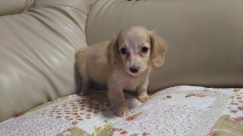 ミニチュアダックスフンド(ロング)の子犬(ID:1267811018)の2枚目の写真/更新日:2018-07-05