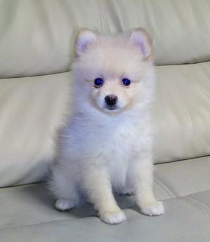 ポメラニアンの子犬(ID:1267811020)の1枚目の写真/更新日:2017-08-18