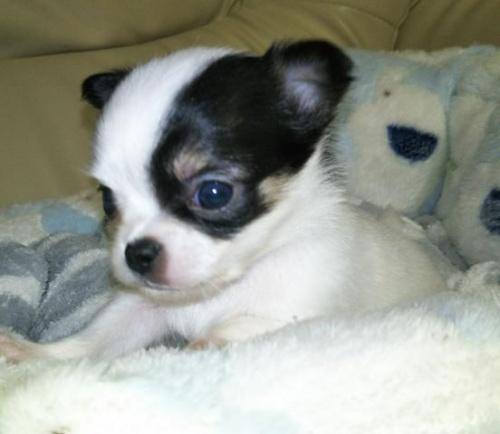 チワワ(ロング)の子犬(ID:1267811022)の1枚目の写真/更新日:2017-11-11