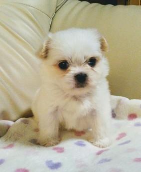 ミックスの子犬(ID:1267811023)の1枚目の写真/更新日:2017-09-05