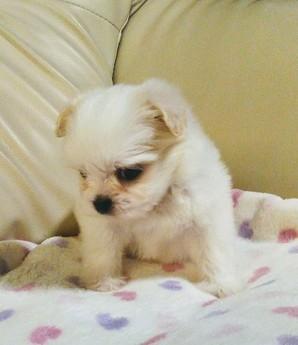 ミックスの子犬(ID:1267811023)の2枚目の写真/更新日:2017-09-05