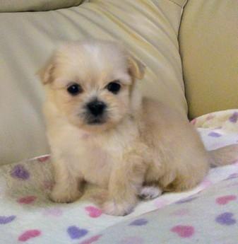 ミックスの子犬(ID:1267811024)の1枚目の写真/更新日:2017-09-05