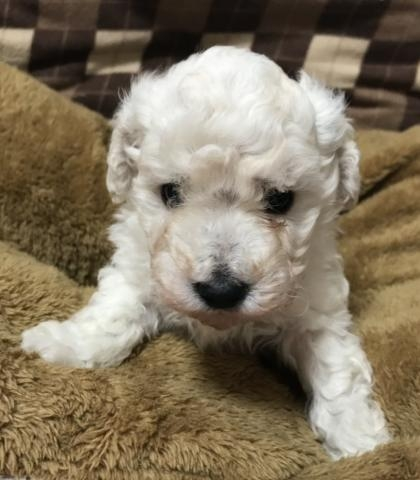 トイプードルの子犬(ID:1267811025)の1枚目の写真/更新日:2017-09-12