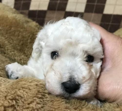 トイプードルの子犬(ID:1267811025)の2枚目の写真/更新日:2017-09-12