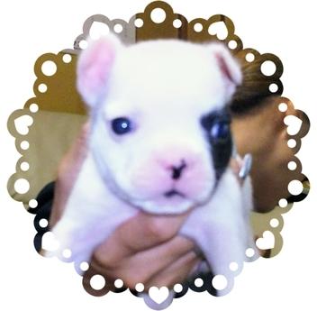 フレンチブルドッグの子犬(ID:1267811026)の1枚目の写真/更新日:2017-10-06