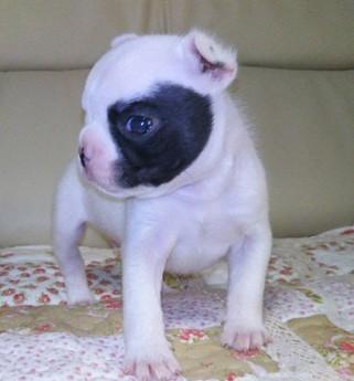 フレンチブルドッグの子犬(ID:1267811026)の2枚目の写真/更新日:2017-10-06