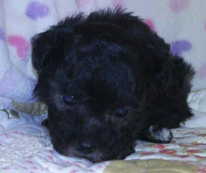 トイプードルの子犬(ID:1267811028)の2枚目の写真/更新日:2017-10-06