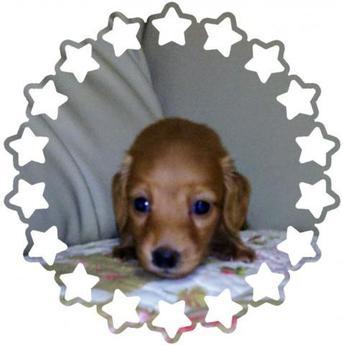 ミニチュアダックスフンド(ロング)の子犬(ID:1267811029)の1枚目の写真/更新日:2017-10-06
