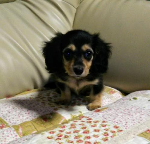 ミニチュアダックスフンド(ロング)の子犬(ID:1267811030)の1枚目の写真/更新日:2017-10-06