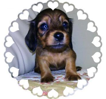 ミニチュアダックスフンド(ロング)の子犬(ID:1267811031)の1枚目の写真/更新日:2017-10-06