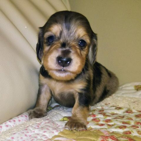 ミニチュアダックスフンド(ロング)の子犬(ID:1267811034)の2枚目の写真/更新日:2017-11-24