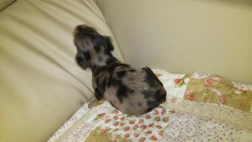 ミニチュアダックスフンド(ロング)の子犬(ID:1267811034)の3枚目の写真/更新日:2017-11-24