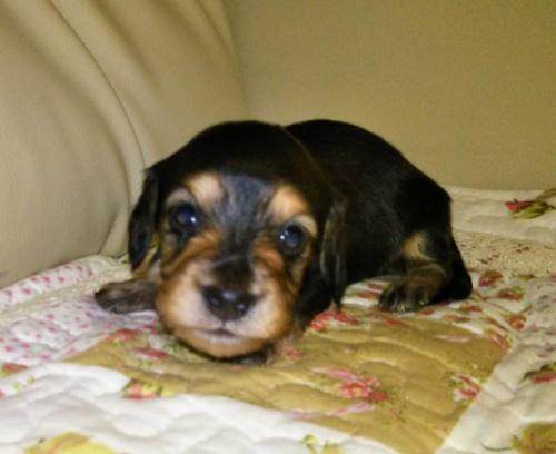 ミニチュアダックスフンド(ロング)の子犬(ID:1267811035)の1枚目の写真/更新日:2017-11-24