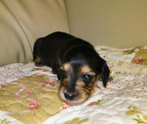 ミニチュアダックスフンド(ロング)の子犬(ID:1267811035)の2枚目の写真/更新日:2017-11-24