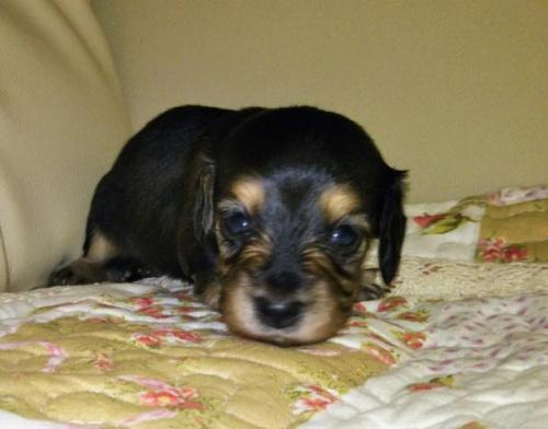 ミニチュアダックスフンド(ロング)の子犬(ID:1267811036)の1枚目の写真/更新日:2017-11-24