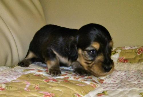 ミニチュアダックスフンド(ロング)の子犬(ID:1267811036)の2枚目の写真/更新日:2017-11-24