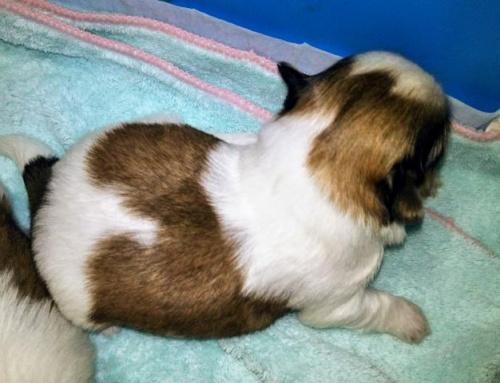 ミックスの子犬(ID:1267811037)の2枚目の写真/更新日:2017-11-28