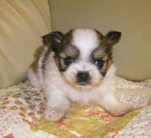 ミックスの子犬(ID:1267811038)の1枚目の写真/更新日:2018-01-04