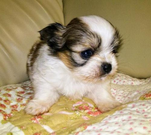 ミックスの子犬(ID:1267811038)の2枚目の写真/更新日:2018-01-04