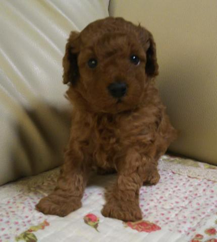 トイプードルの子犬(ID:1267811039)の1枚目の写真/更新日:2018-08-06