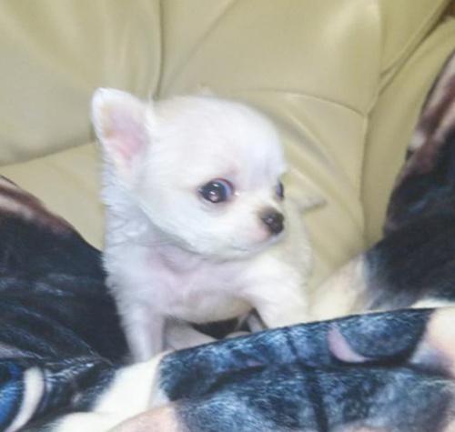 チワワ(ロング)の子犬(ID:1267811043)の1枚目の写真/更新日:2018-01-11