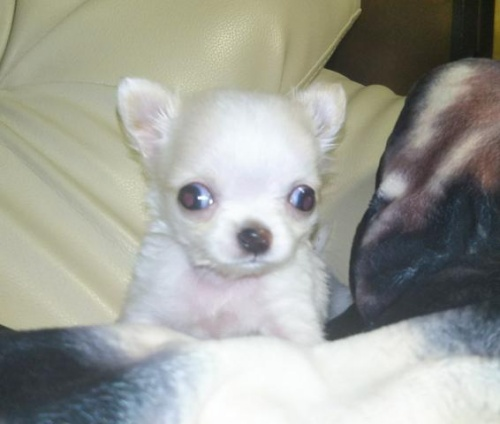 チワワ(ロング)の子犬(ID:1267811043)の2枚目の写真/更新日:2018-01-11