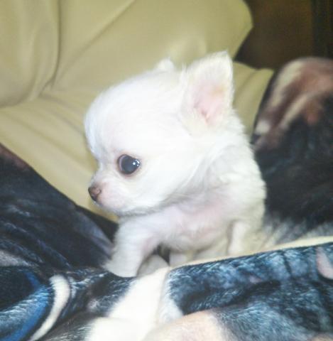 チワワ(ロング)の子犬(ID:1267811043)の3枚目の写真/更新日:2018-12-24