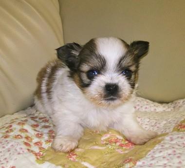 ミックスの子犬(ID:1267811044)の2枚目の写真/更新日:2018-01-16