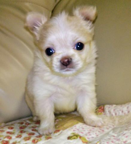 チワワ(ロング)の子犬(ID:1267811045)の1枚目の写真/更新日:2018-01-22