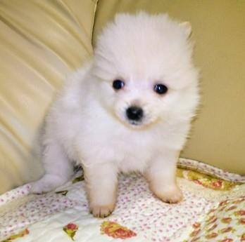 ポメラニアンの子犬(ID:1267811046)の1枚目の写真/更新日:2018-02-09