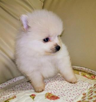 ポメラニアンの子犬(ID:1267811046)の2枚目の写真/更新日:2018-02-09
