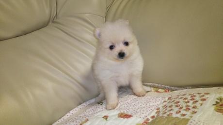 ポメラニアンの子犬(ID:1267811047)の1枚目の写真/更新日:2018-02-09
