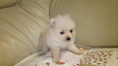 ポメラニアンの子犬(ID:1267811047)の2枚目の写真/更新日:2018-02-09