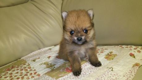 ポメラニアンの子犬(ID:1267811048)の1枚目の写真/更新日:2018-02-09