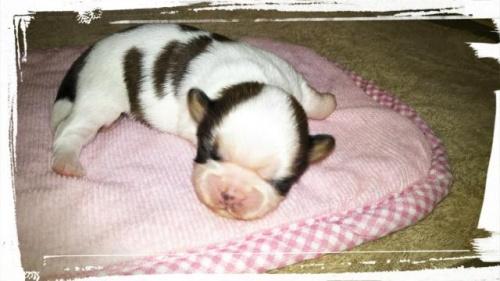 シーズーの子犬(ID:1267811049)の1枚目の写真/更新日:2018-02-09