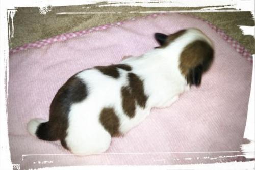 シーズーの子犬(ID:1267811049)の2枚目の写真/更新日:2018-02-09