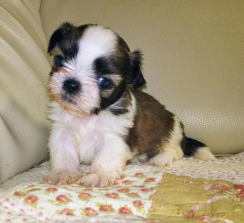 シーズーの子犬(ID:1267811050)の1枚目の写真/更新日:2018-02-09
