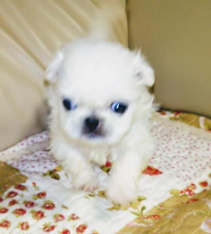 ペキニーズの子犬(ID:1267811051)の1枚目の写真/更新日:2018-02-19