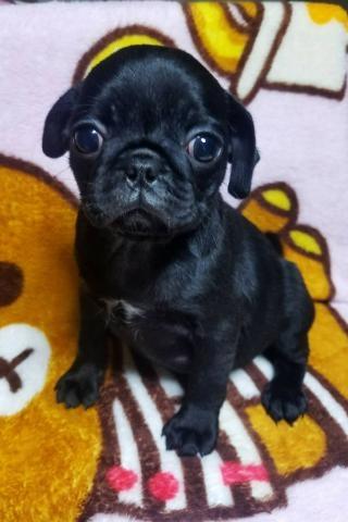 パグの子犬(ID:1267811058)の1枚目の写真/更新日:2018-07-12
