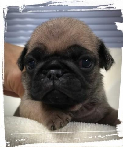 パグの子犬(ID:1267811060)の1枚目の写真/更新日:2019-01-18