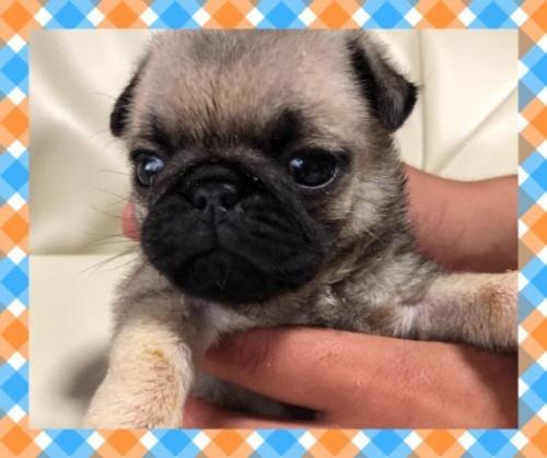 パグの子犬(ID:1267811061)の1枚目の写真/更新日:2019-07-09
