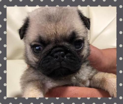 パグの子犬(ID:1267811061)の2枚目の写真/更新日:2019-07-09