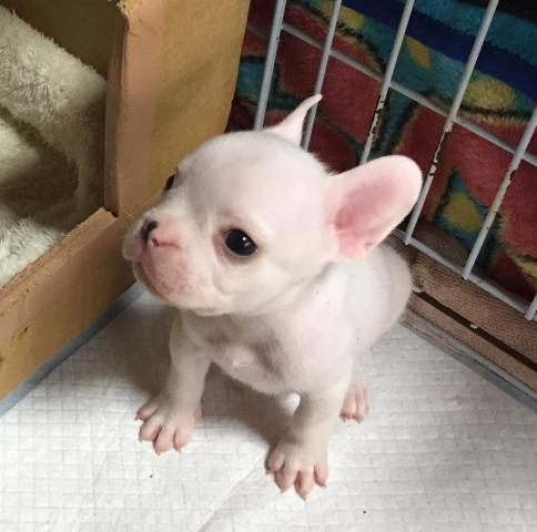 フレンチブルドッグの子犬(ID:1267811062)の1枚目の写真/更新日:2019-07-09