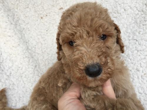 スタンダードプードルの子犬(ID:1267911001)の2枚目の写真/更新日:2018-06-25