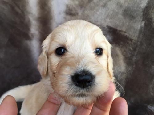 ミックスの子犬(ID:1267911006)の3枚目の写真/更新日:2017-03-31