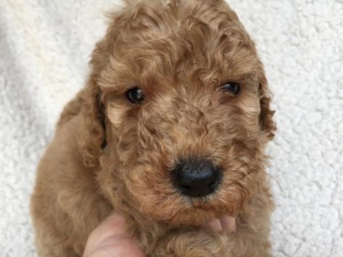 スタンダードプードルの子犬(ID:1267911008)の1枚目の写真/更新日:2018-06-25