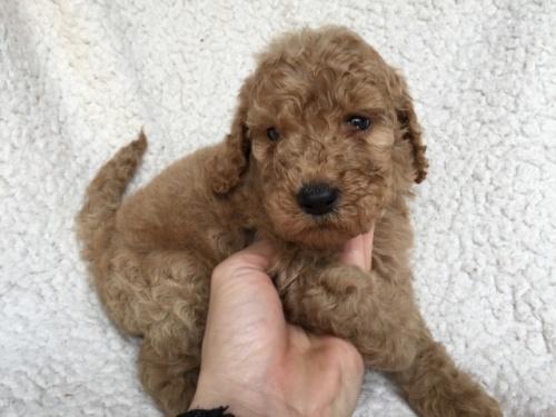 スタンダードプードルの子犬(ID:1267911008)の3枚目の写真/更新日:2018-06-25